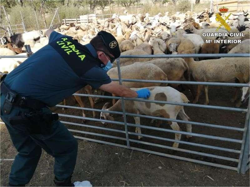 Una imagen de los corderos, facilitada por la Guardia Civil. EFE