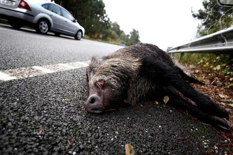 El cuerpo de un jabalí sin vida en el arcén de una carretera. EFE/Cabalar/Archivo