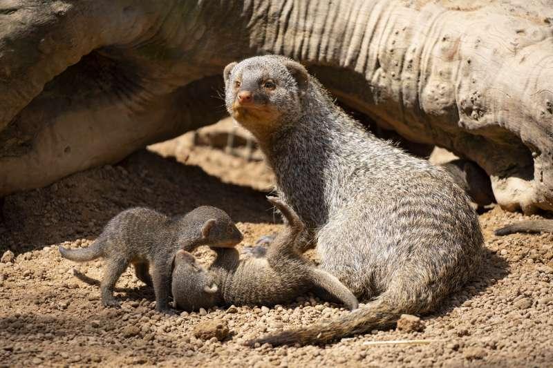 Crías de mangostas rayadas en BIOPARC Valencia. EPDA