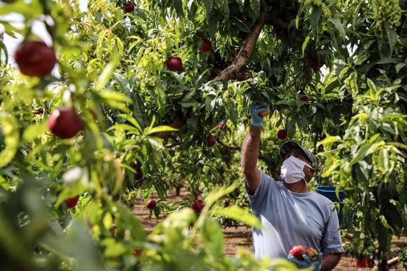 Un trabajador recolecta nectarinas en un campo en Carlet, Valencia. EFE/Ana Escobar