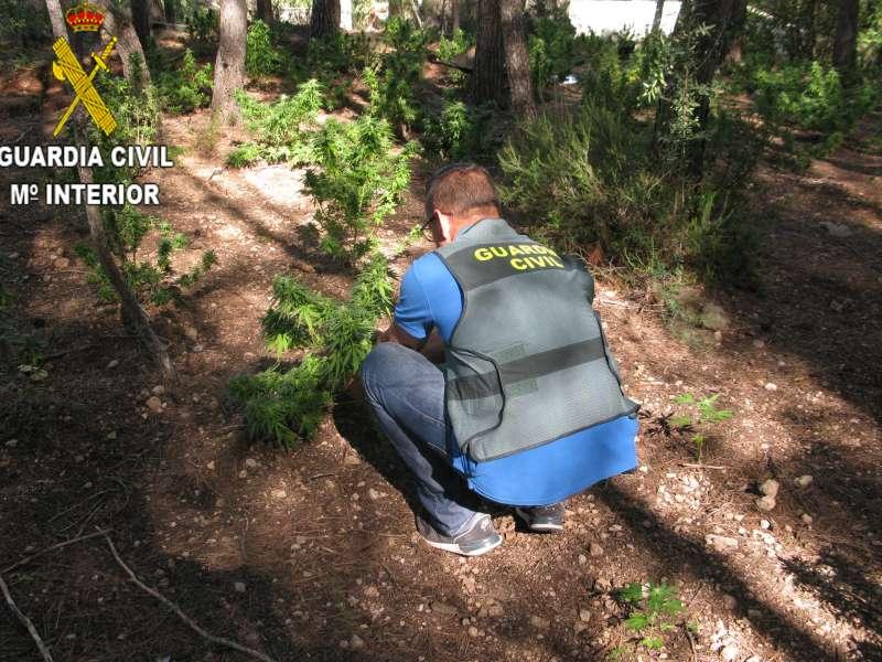 Plantas intervenidas por la Guardia Civil en Xàtiva. EPDA