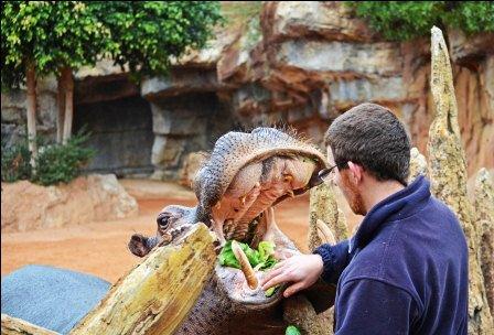 Un momento del entrenamiento médico a un hipopótamo de Bioparc. EPDA