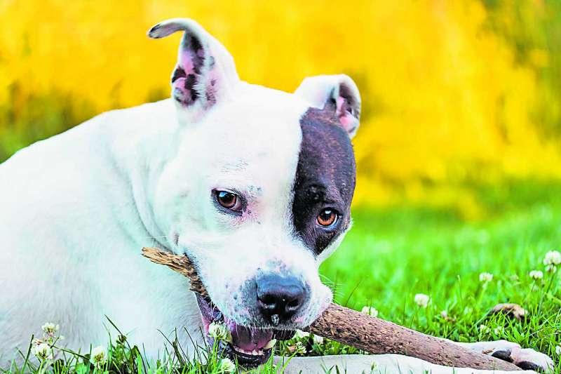 Un perro potencialmente peligroso jugando en la naturaleza /EPDA