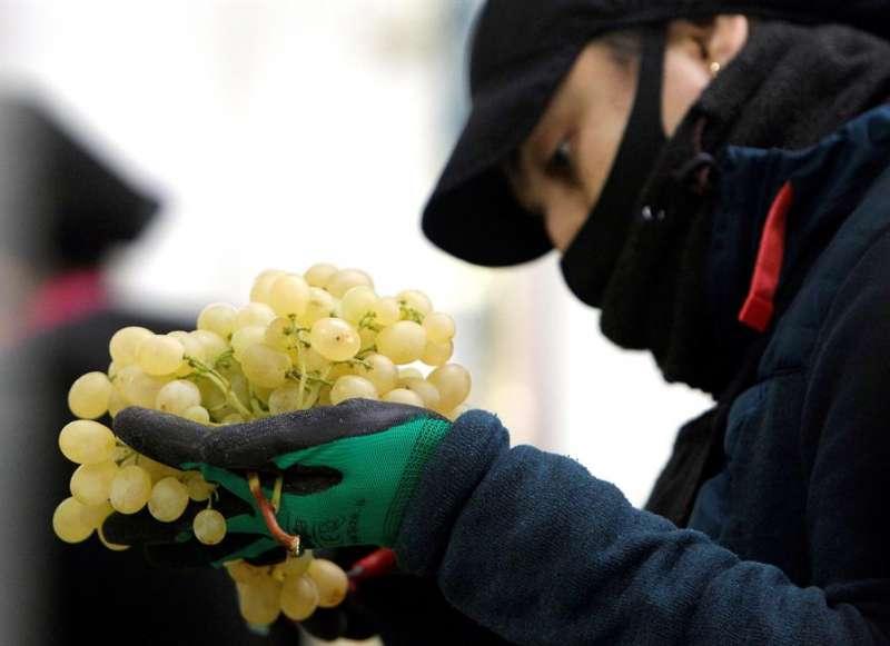 Una operaria trabaja en las labores de selección y empaquetado de uvas de la D.O. Uva de Mesa del Vinalopó destinada a las campanadas de Fin de Año. EFE/Morell