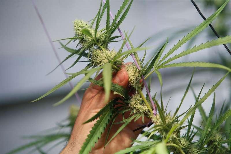 Fotografía que muestra una planta de marihuana en un club cannábico.