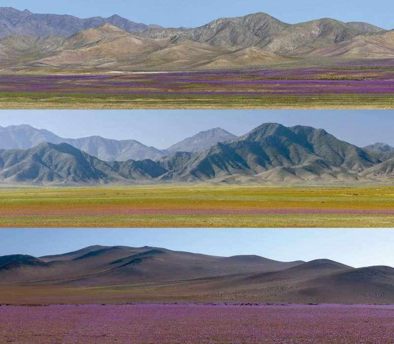 El ?desierto florido? es uno de los fenómenos más llamativos que suceden en Atacama.
