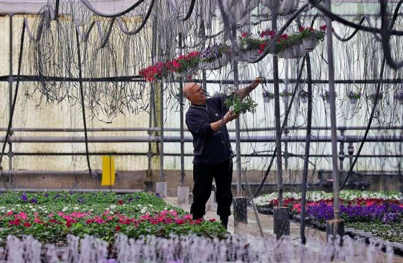 Imagen de un vivero dedicado a la planta con flor. EFE/ Manuel Bruque/Archivo