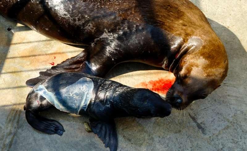 La cría de león marino, recién nacida
