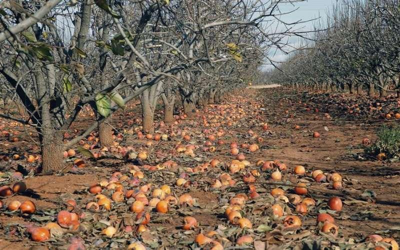 Una plantación de caquis con el fruto en el suelo. EFE