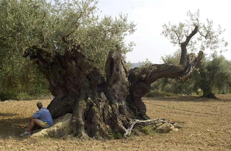 Olivos valencianos. Efe/Domenech Castelló/Archivo