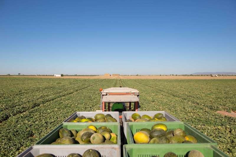 Recogida de melones.