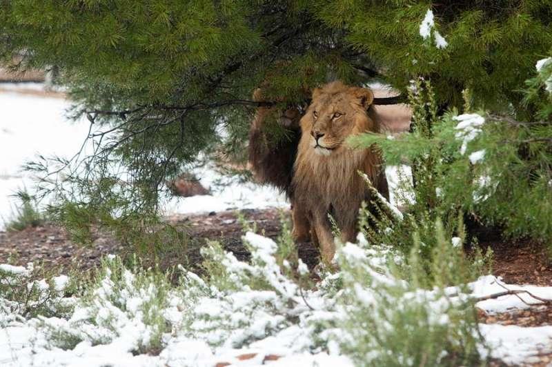 Una imagen del león Tintín en la nieve, facilitada por Primadomus. EFE.