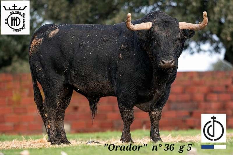 Uno de los toros que se exhibirá el 11 de enero