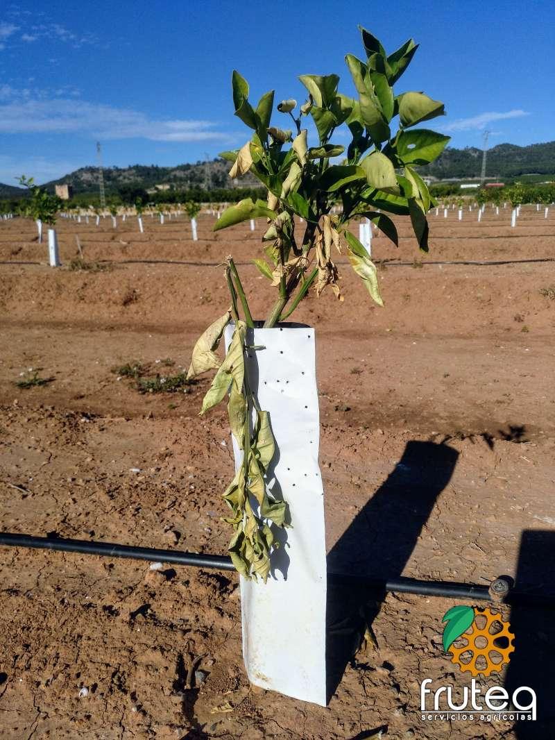 Vandalismo en un plantón de naranjo. EPDA