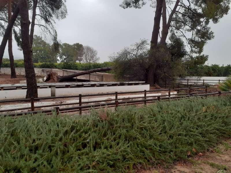 Pi caigut a la Font de Quart de les Valls a causa del temporal. EPDA