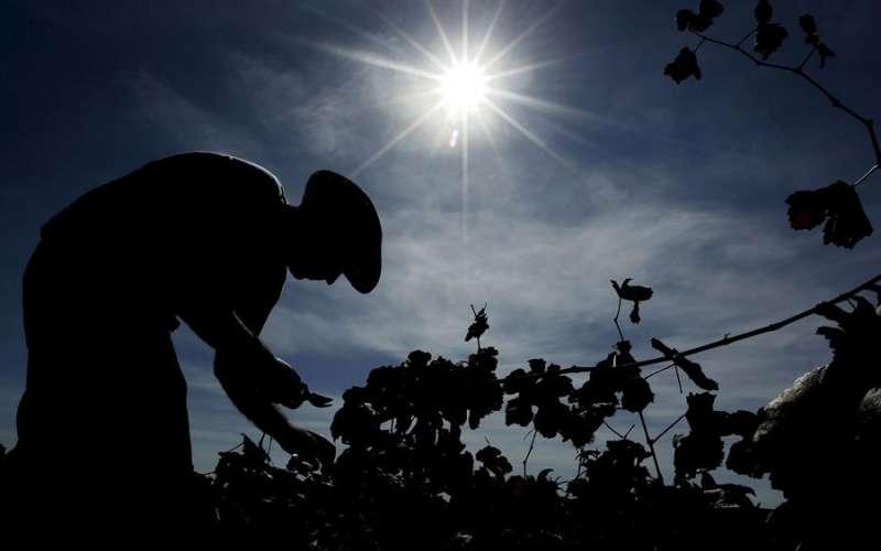 Un temporero trabaja en un viñedo en la zona de Utiel-Requena. EFE/Kai Försterling/Archivo