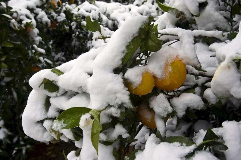 Imagen de archivo de un naranjo cubierto de nieve en la localidad de Barx. EFE
