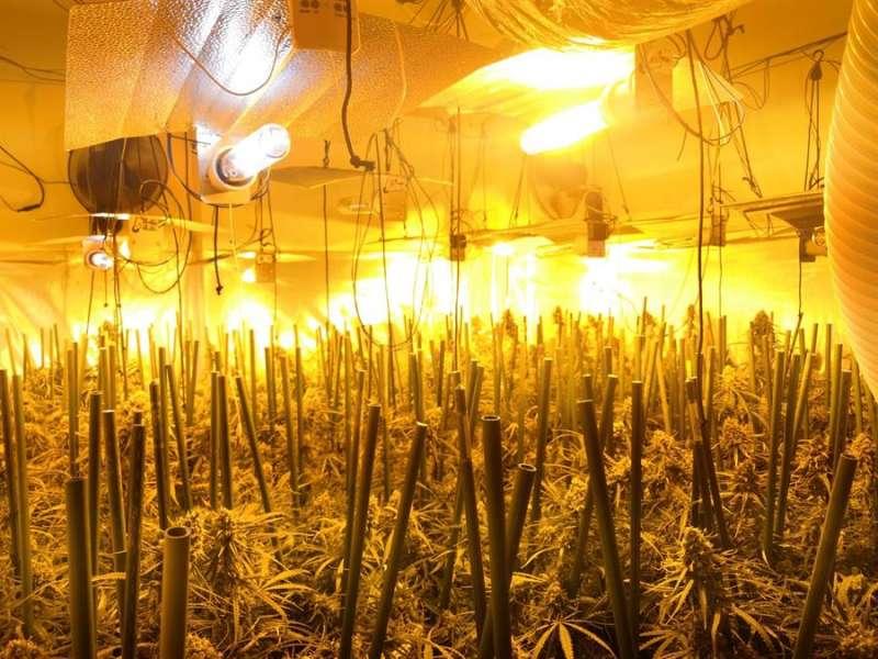 Imagen de una de las plantaciones de marihuana cedida por la Guardia Civil. EFE