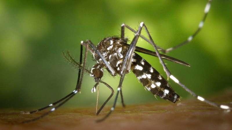 Mosquito tigre. EPDA.