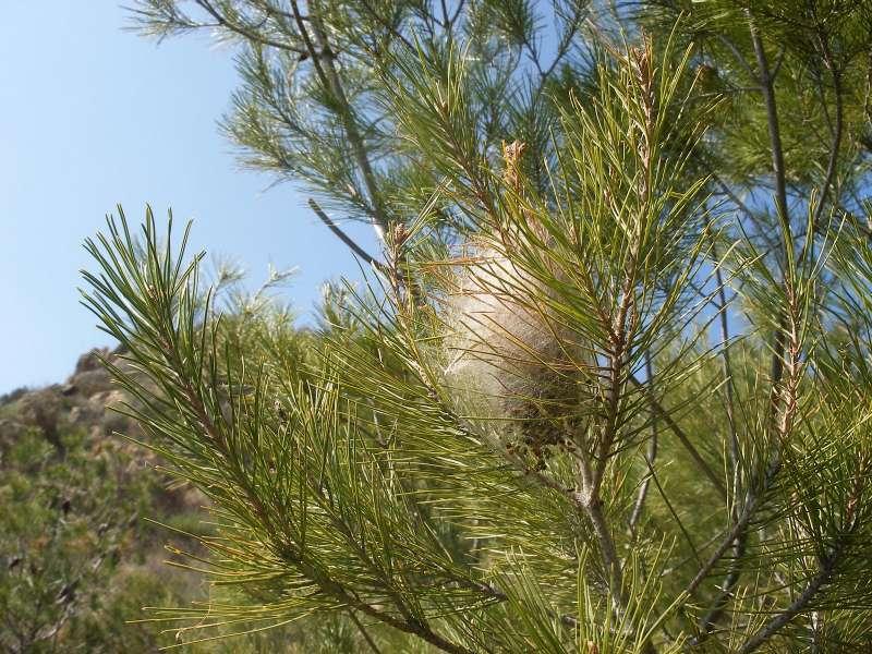 Nido de procesionaria en un pino