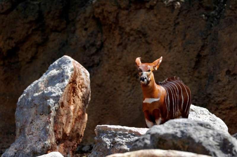 La cría de Bongo, nacida hace pocas semanas, observa al fotógrafo, este martes en el Bioparc de Valencia. EFE
