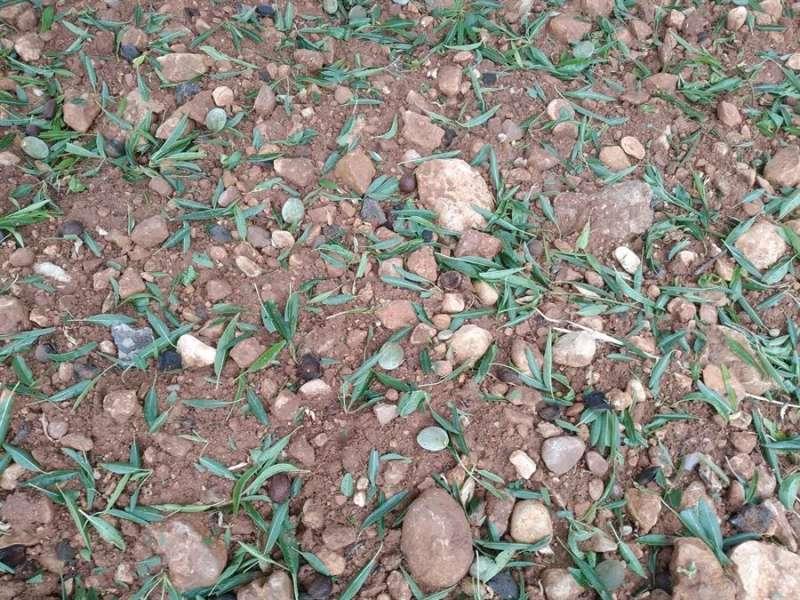 Efectos del pedrisco en cultivos de almendra en La Plana, en una imagen facilitada por la Unió de Llauradors.