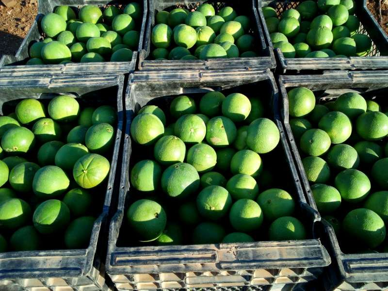 Naranjas navelinas verdes