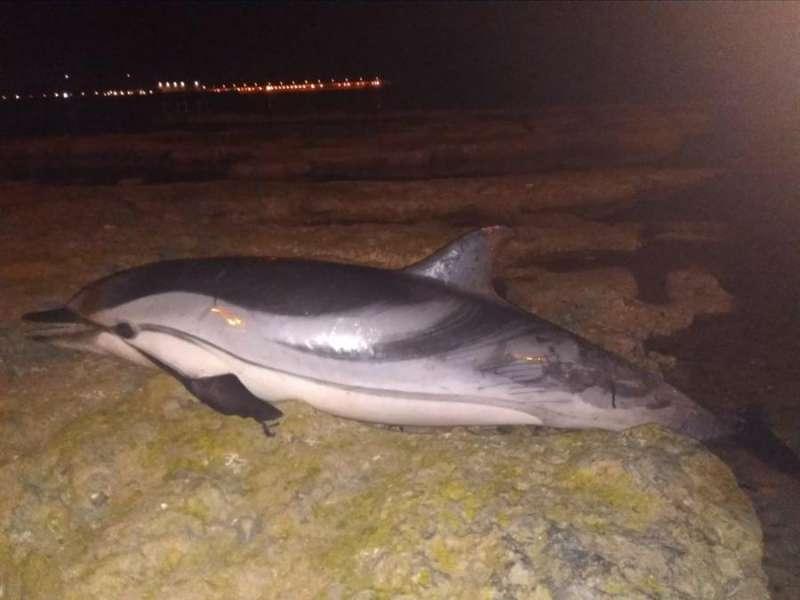 Foto cedida por el Ayuntamiento de Torrevieja del cadáver del delfín. EFE