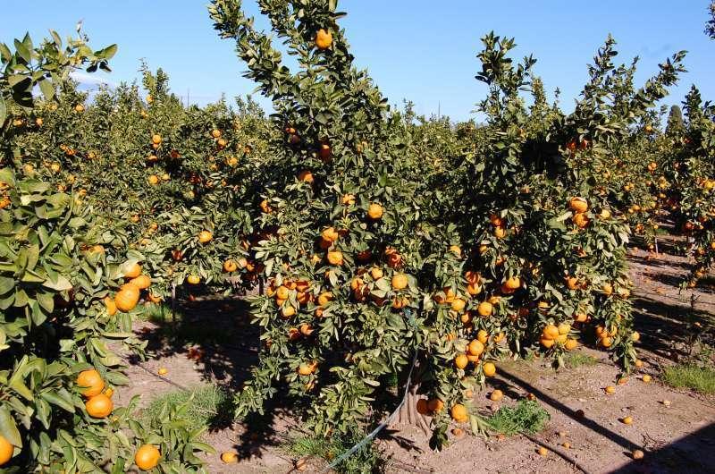 Huerto de naranjos.