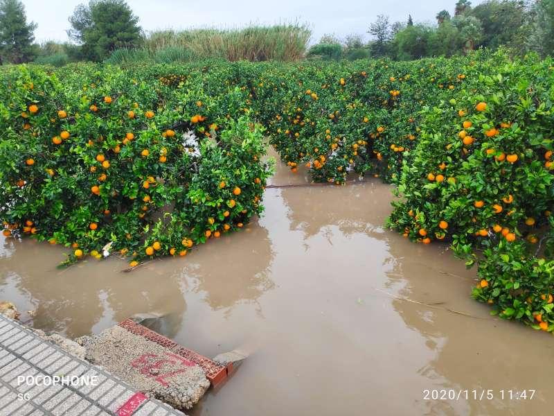 Naranjos afectados por la gota fría en Valencia.