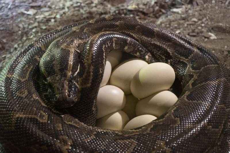 La pitón junto a sus huevos