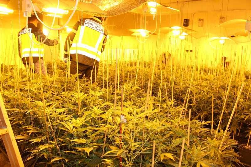Plantación de marihuana. EPDA
