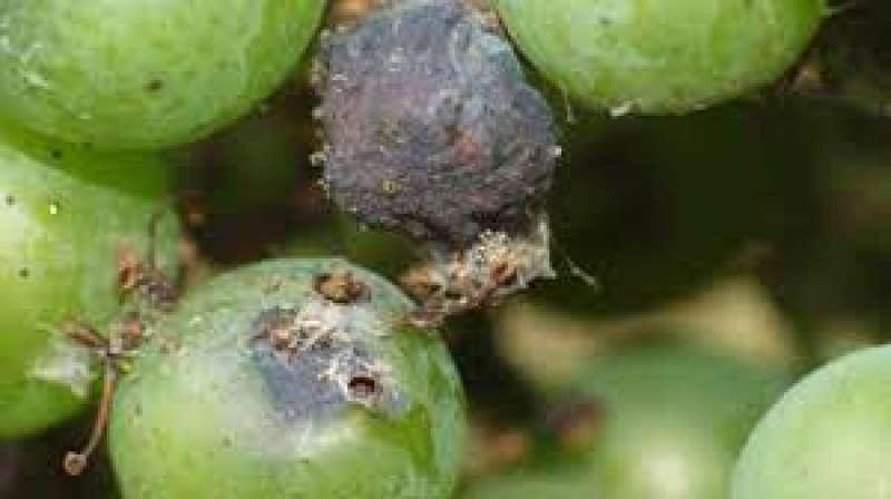 Efectos de la polilla