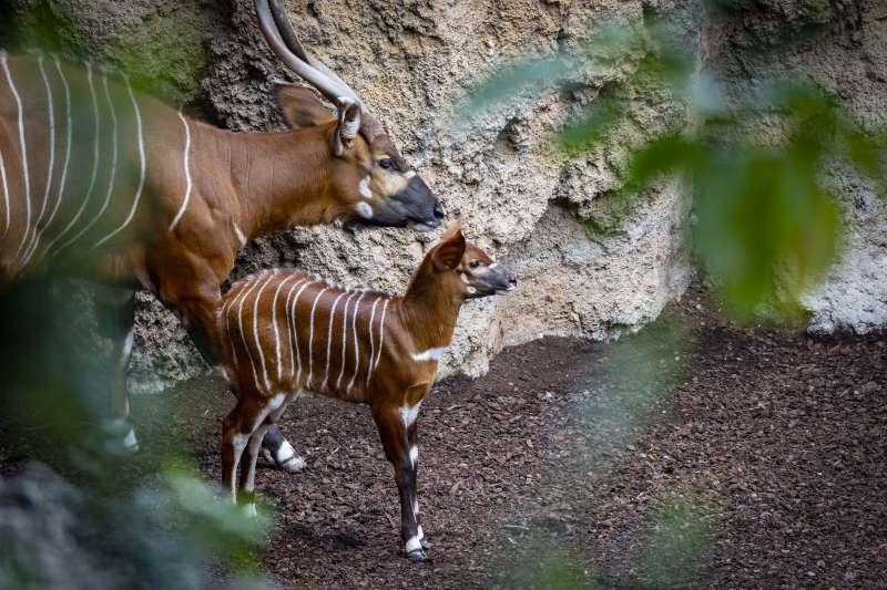 Bongo oriental y su cría