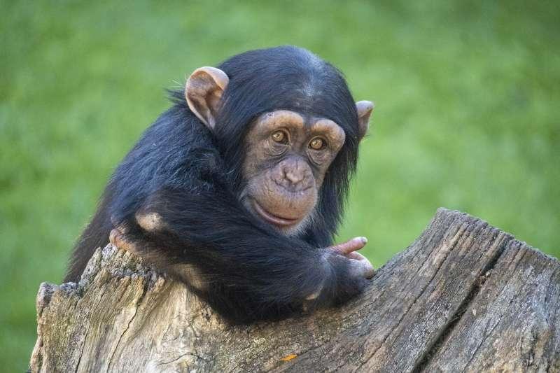 El bebé chimpancé Djibril cumple 2 años
