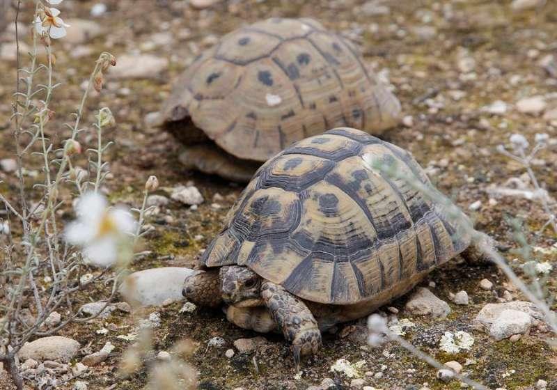 Una pareja de Tortuga Mora (Testudo Graeca), cuya hembra puede almacenar el esperma en óptimas condiciones de uno o varios machos durante 4 años. EFE/MORELL