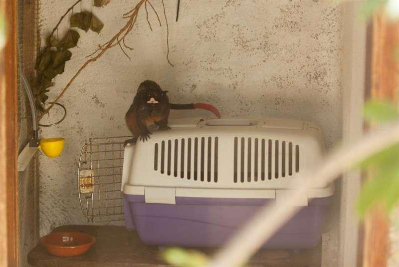 El primate rescatado, en una imagen facilitada por Primadomus.