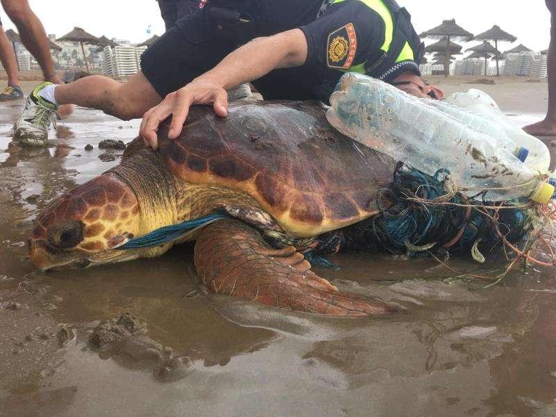 Imagen de Cruz Roja Valencia de la tortuga rescatada este viernes en la Malvarrosa, rodeada de plásticos y residuos. EFE
