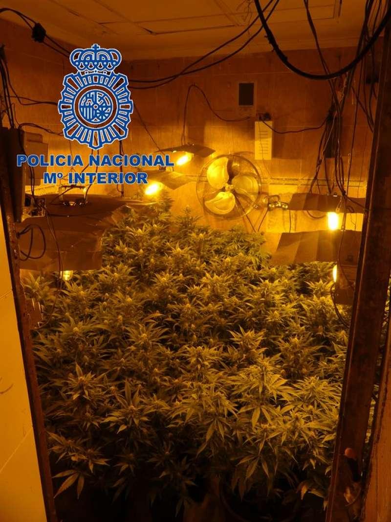 Cultivo de plantas en un domicilio utilizado por una banda detenida en Orihuela por tráfico de drogas. EFE/Policía
